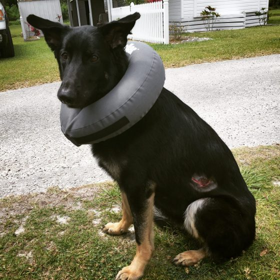 The inflatable collar made the healing process much more bearable and hilarious. Bumper dogs!