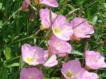 Here is the lovely, Pink Primrose, native to the midwest. Check out plantnative.org for ideas in your region. Credit: Ruth Elsesser